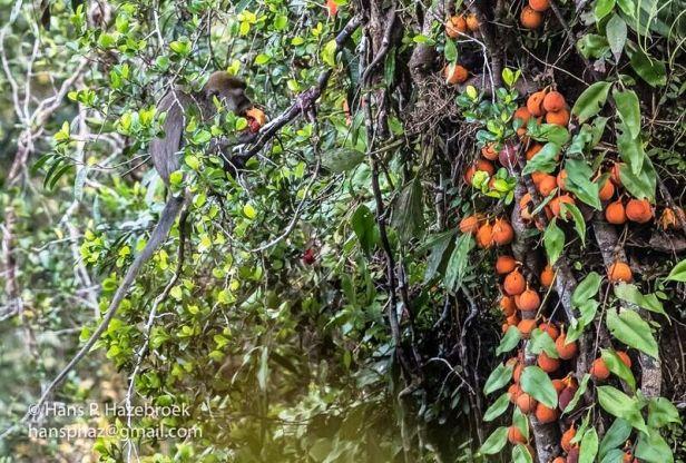 Ficus punctata+macaque 02