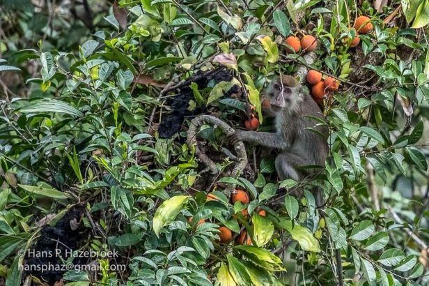 Ficus punctata+macaque