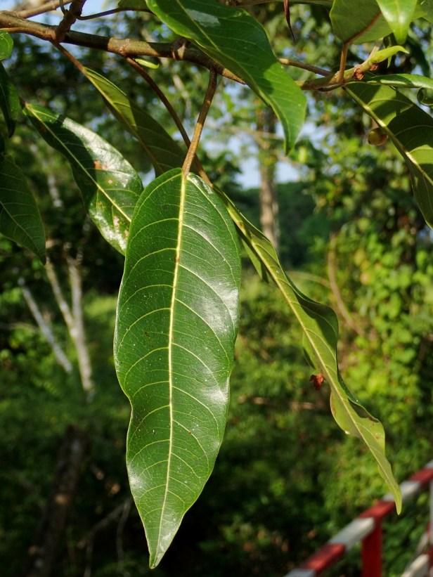 Ficus racemosa by bridge. Tabin. May 2018 AP (831).JPG