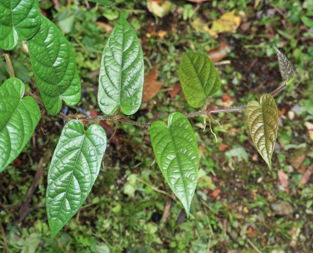 Ficus sagittata IMG_1143 - Copy