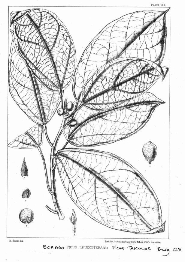 Ficus tricolor King (1887) enhanced.jpg