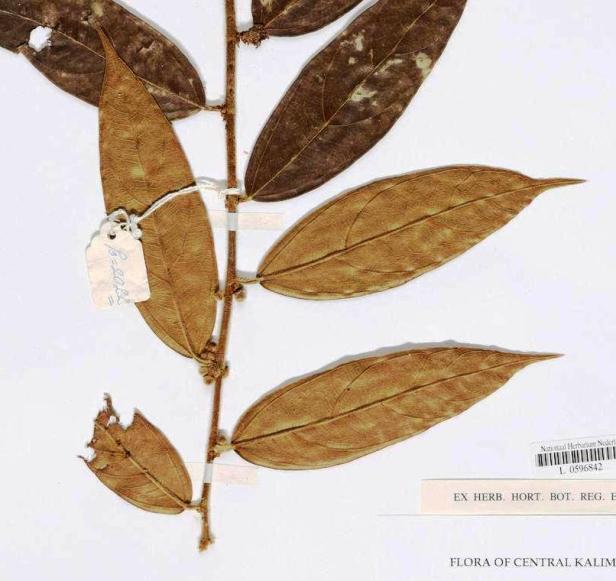 L1615205 Ficus pendens Kotawaringin