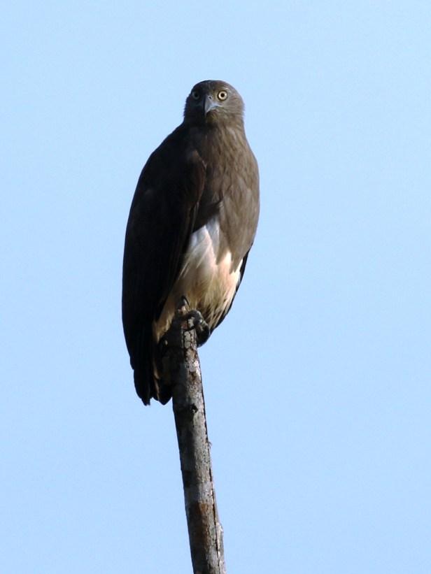 Lesser Fish Eagle 3P7A8419.JPG