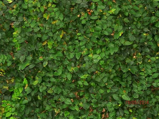 01  Ficus pumila IMG_0081.jpg