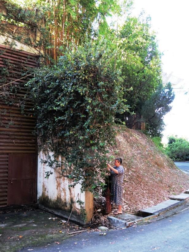 02 Ficus pumila  Sabah Muzium IMG_1952.JPG