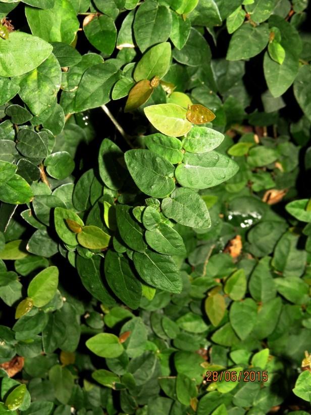 03 Ficus pumila IMG_0671.JPG