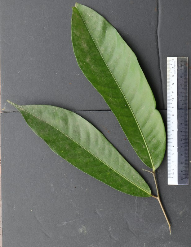 04 Ficus subulata 3P7A8666 .JPG