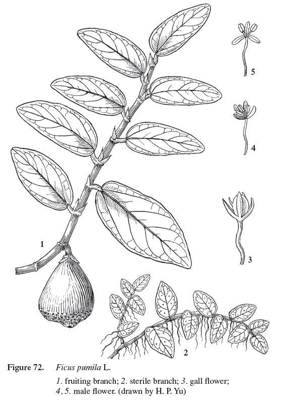 053_Ficus pumila_薜荔_99717_I