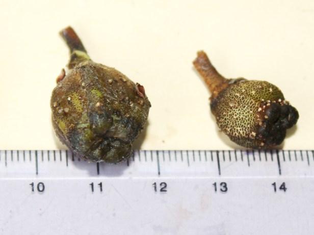 07 Ficus albomaculata 0C7A0134.JPG