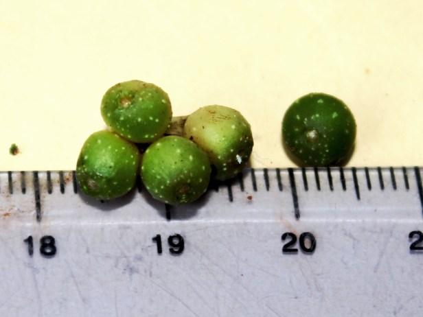 Ficus rubromidotis 0C7A0123.JPG