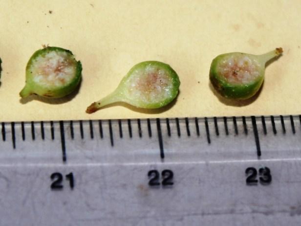 Ficus rubromidotis 0C7A0126.JPG