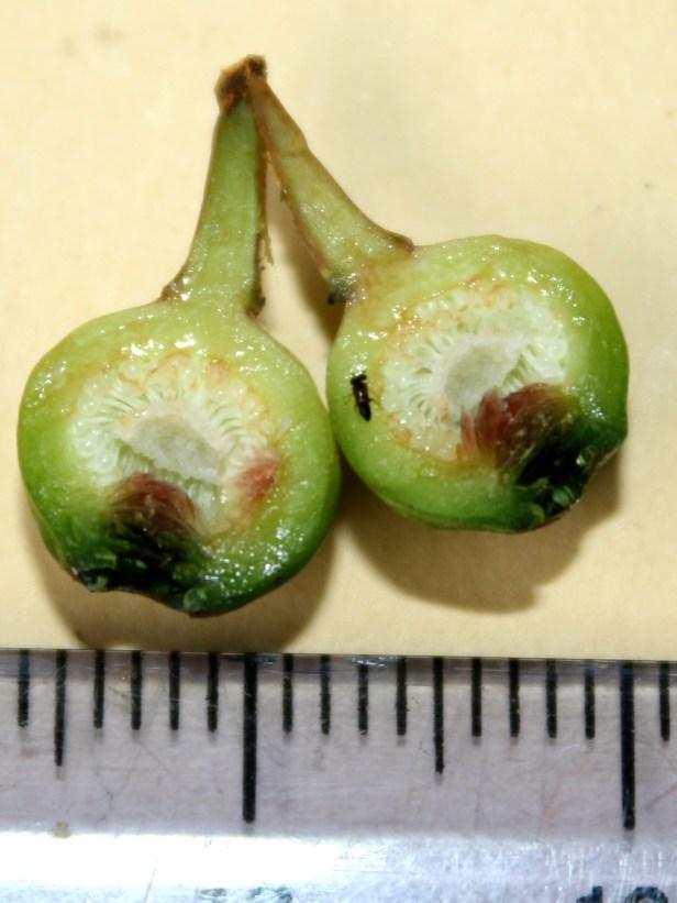 Ficus tarennifolia 0C7A0082.JPG