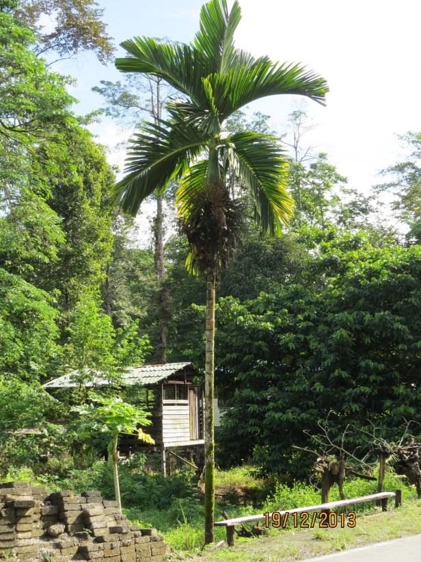 Pinang Palm Mulu 02 IMG_5132