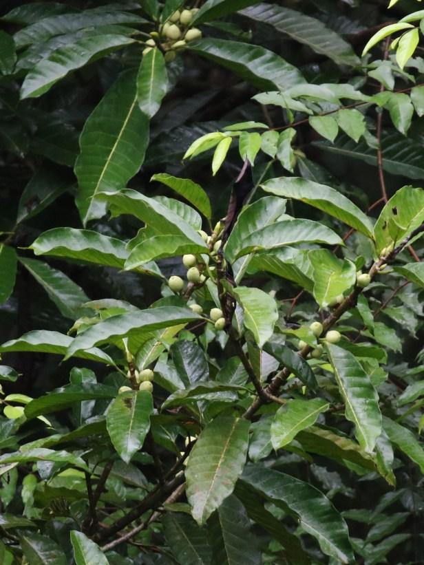 01 Ficus annulata 0C7A6663