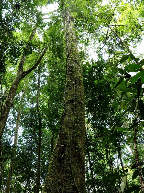 01 Ficus grandiflora 3P7A9928.JPG