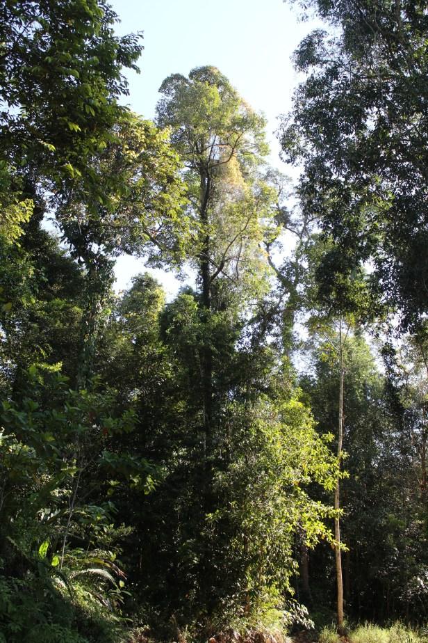 01 Ficus punctata male 0C7A5999.JPG
