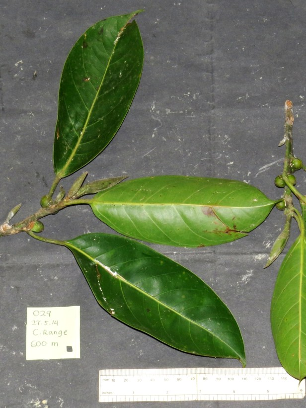 01 Ficus sundaica IMG_2261.JPG