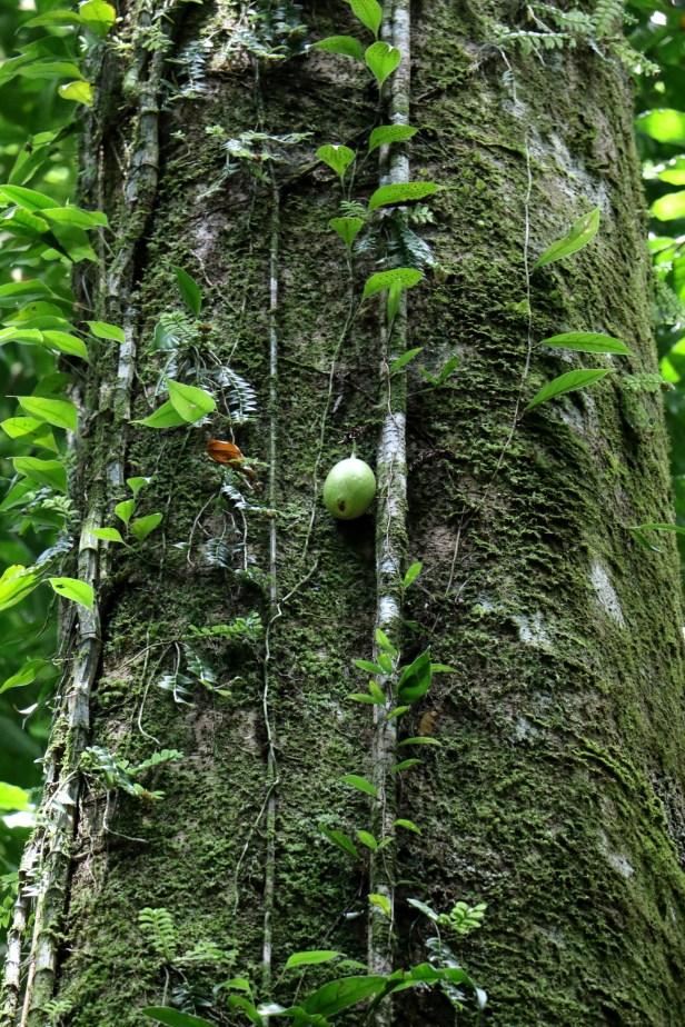 02 Ficus grandiflora 3P7A9926.JPG
