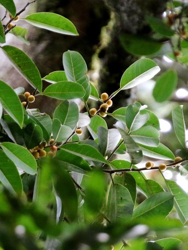 02 Ficus kerkhovenii 0C7A6479 - Copy