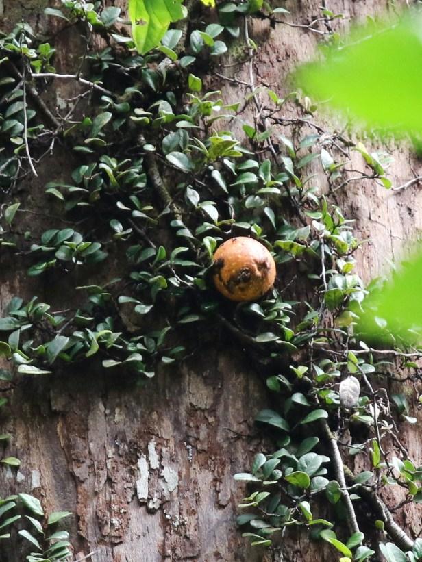 02 Ficus punctata male 0C7A6757
