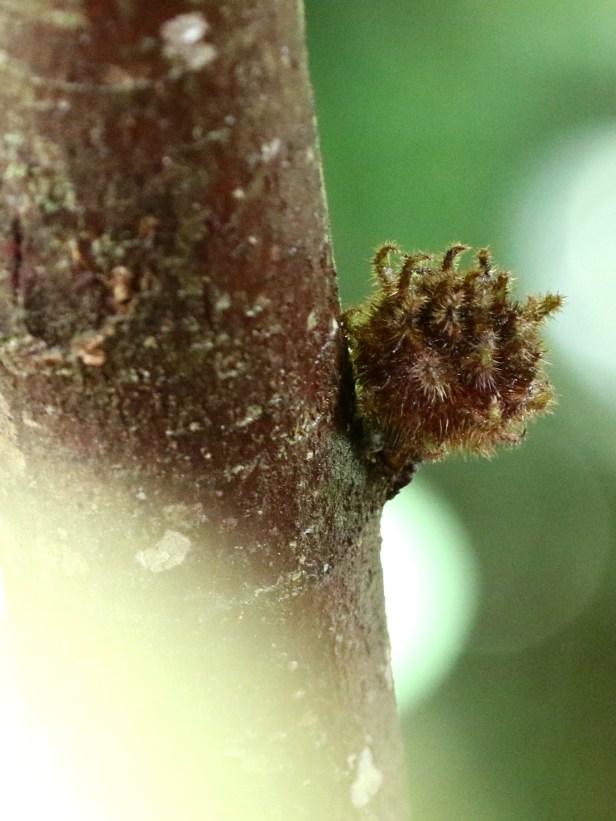 02 Ficus uncinata 0C7A6799.JPG