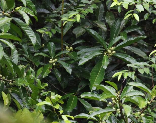 03 Ficus annulata 0C7A6665.JPG