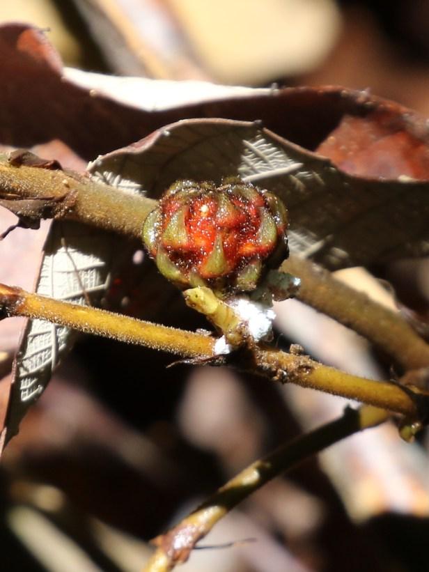 03 Ficus beccarii female .JPG
