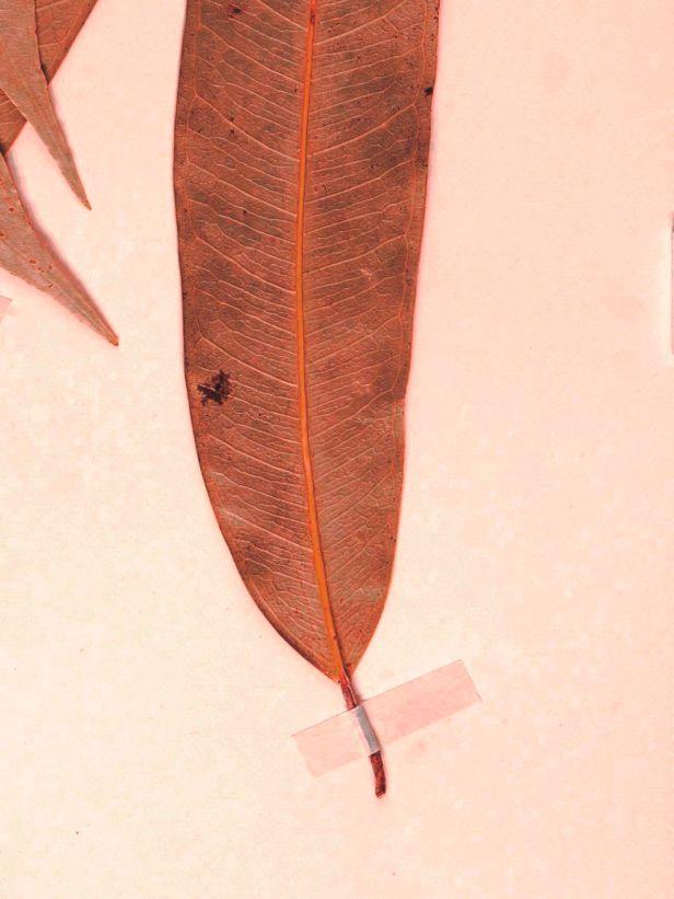 03 Ficus binnendijkii Belalong Brunei lanceolate -L.1594619