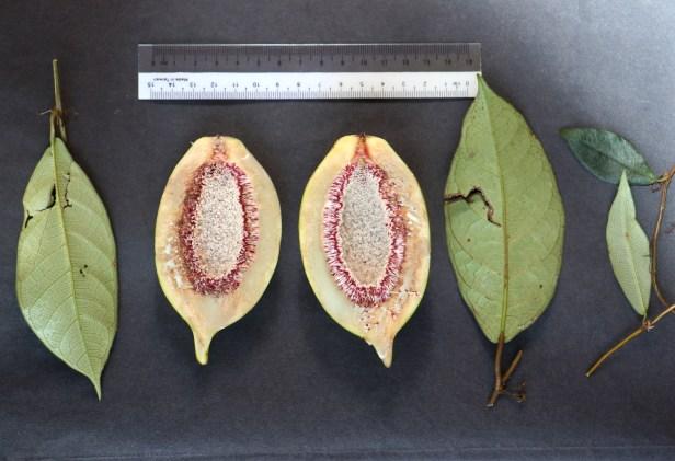03 Ficus grandiflora 3P7A0067