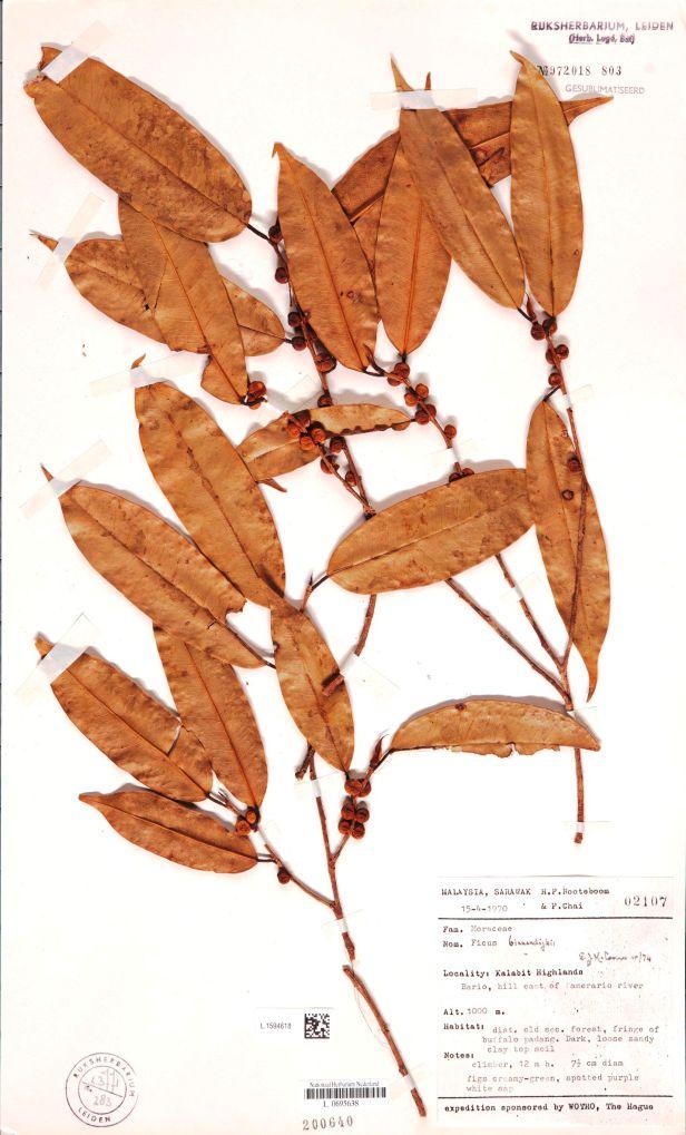 05  Ficus binnendijkii L.1594618 Sarawak  .jpg