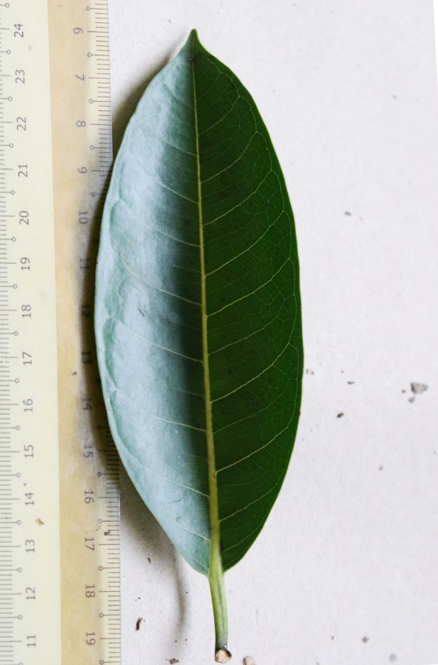05 Ficus kerkhovenii 0C7A6542.JPG