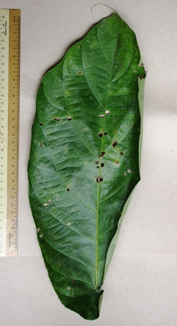 05 Ficus megaleia 0C7A5559.JPG