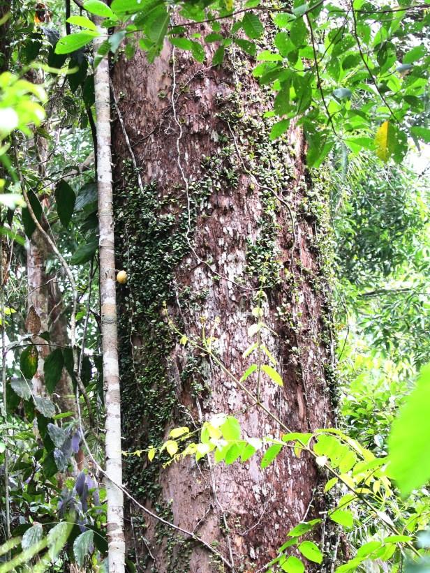 05 Ficus punctata 0C7A6751.JPG