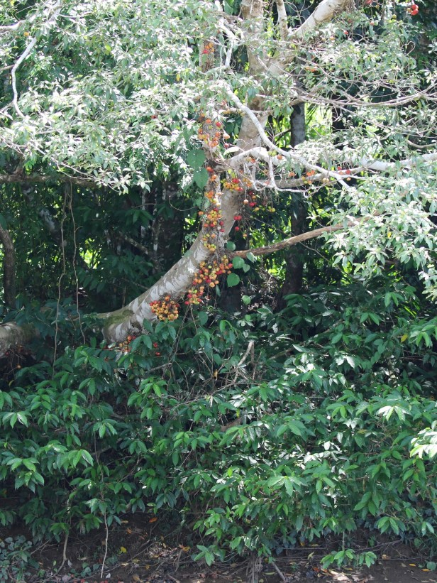 05 Ficus racemosa Kg Sumbiling Baru 0C7A5791.JPG