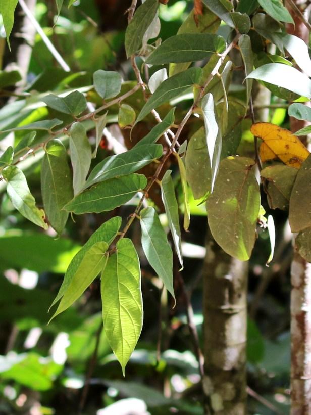 05 Ficus uncinata 0C7A6812.JPG