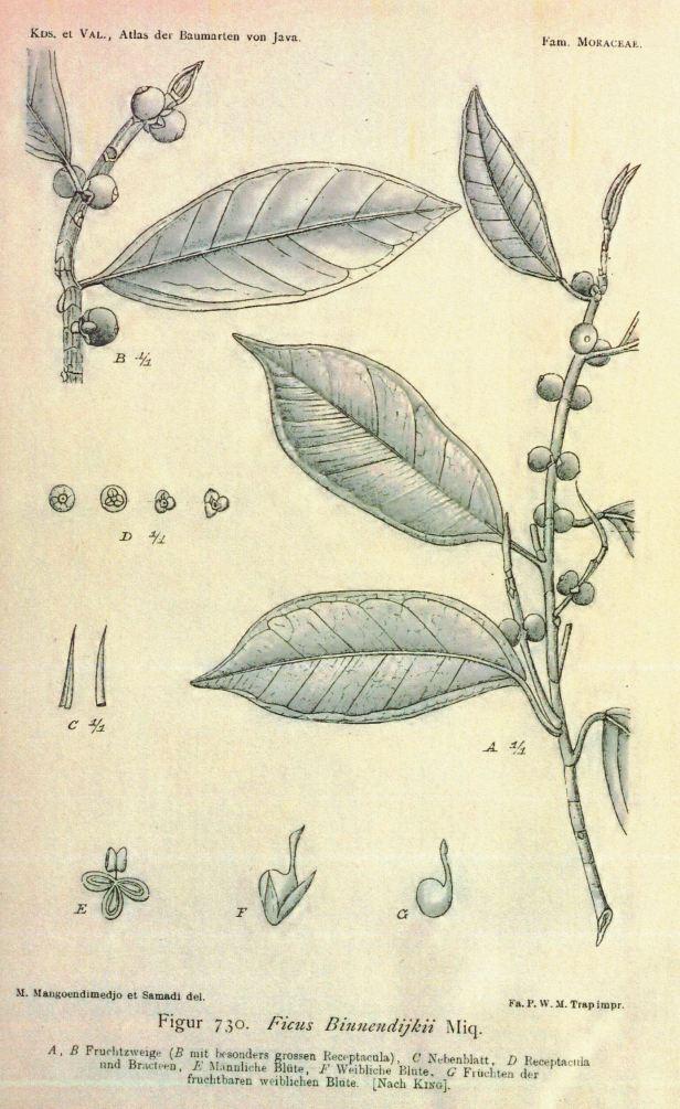 06 Ficus binnendijkii Atlas der Baummarten von Java (1906)