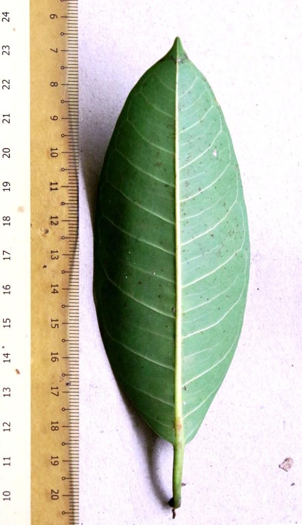 06 Ficus kerkhovenii 0C7A6545.JPG