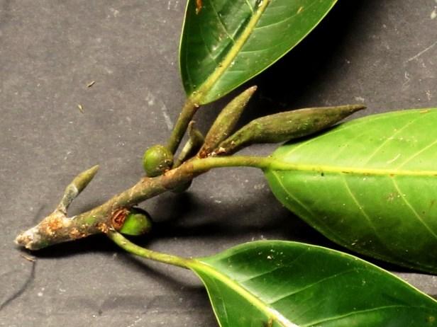 06 Ficus sundaica IMG_2263.JPG