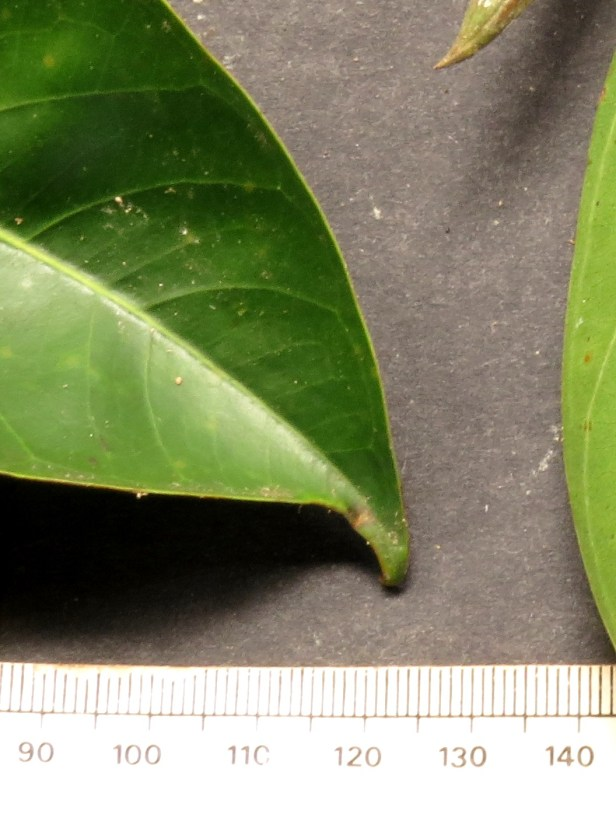 07 Ficus sundaica IMG_2271.JPG