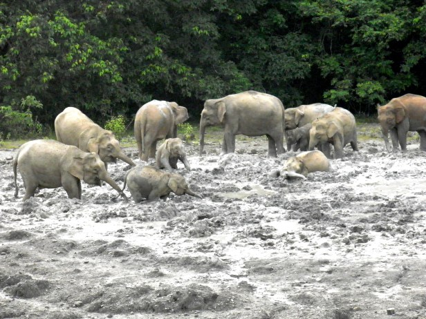 Elephants Mud Volcanoe Tabin.JPG