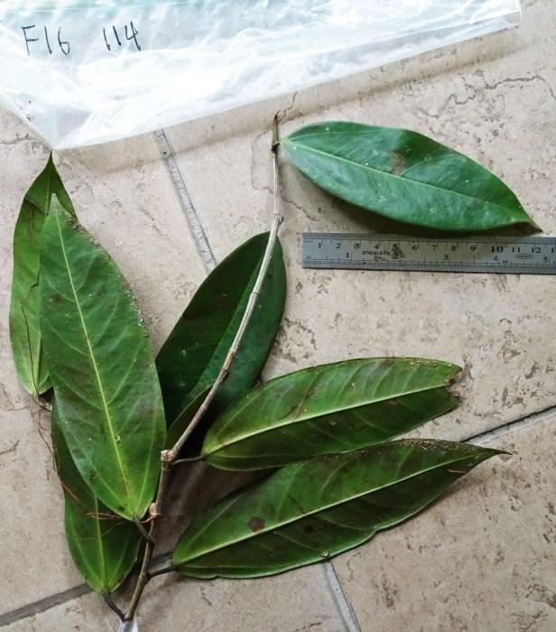 Ficus acamptophylla Miyabi 3.JPG