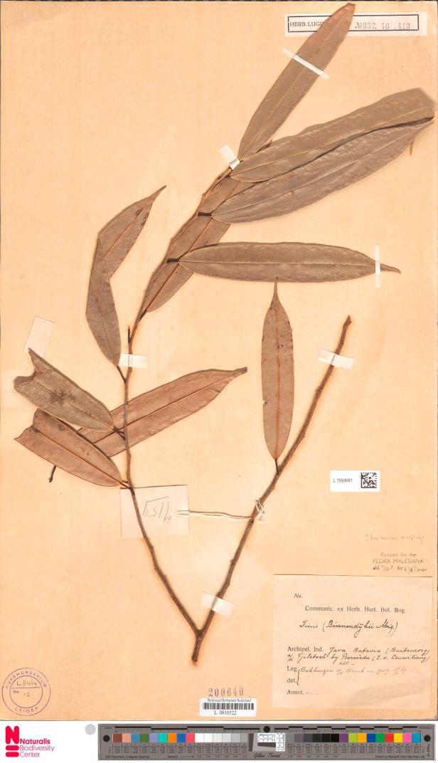 Ficus binnendijkii Java -L.1594681.jpg
