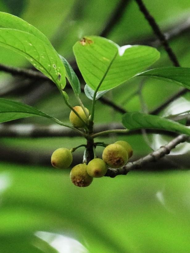 Ficus lumutana 3P7A6657.JPG