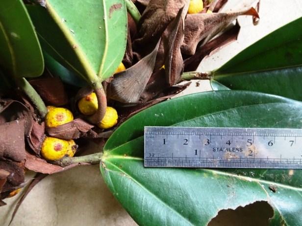 Ficus paracamptophylla 02  .JPG