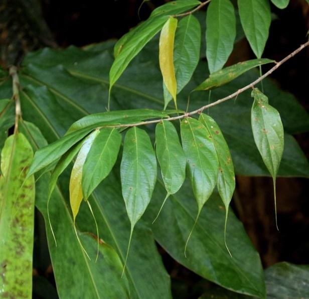 04 Ficus beccarii 0C7A6983.JPG