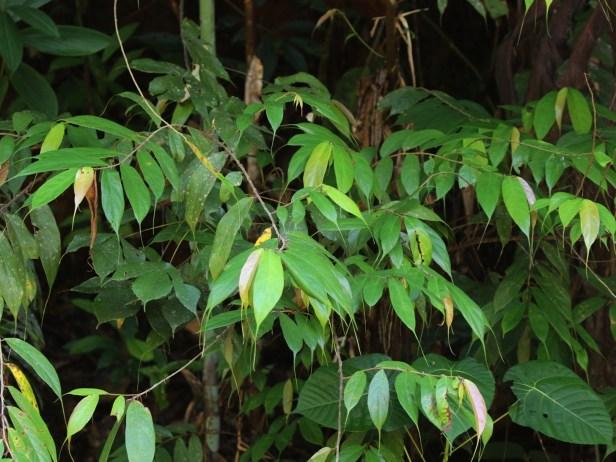 05 Ficus beccarii 0C7A6979.JPG