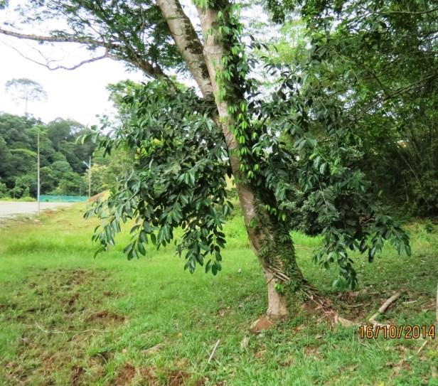 09 Ficus drupacea Deramakot IMG_0035.JPG