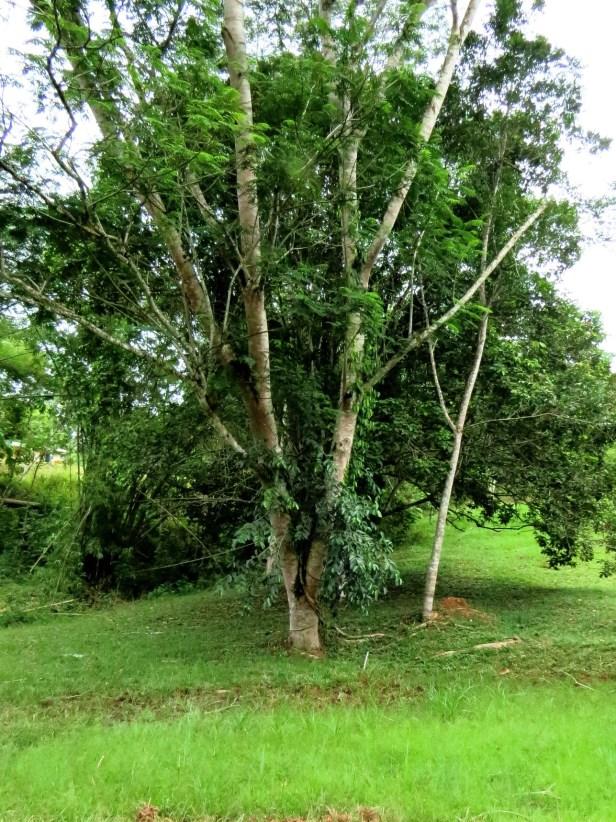 Ficus drupacea IMG_0043.JPG