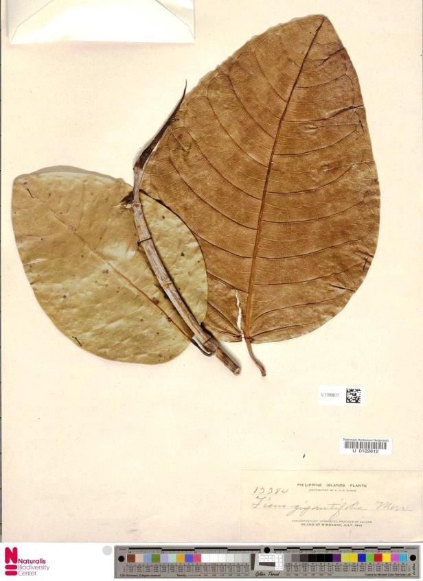 Ficus gigantifolia U1399677 Mindanao 1912 .jpg