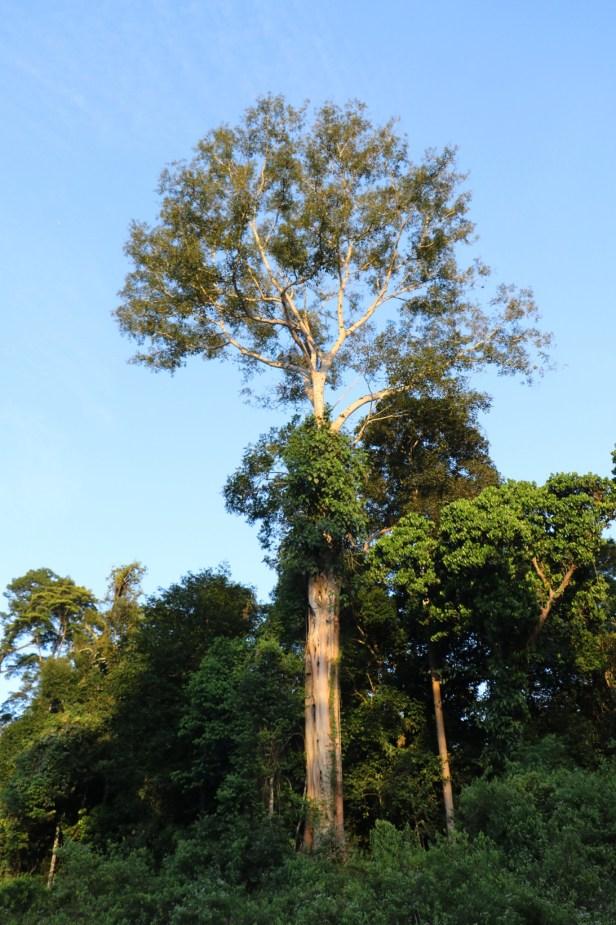 Ficus lawesii Maliau 3Y3A2278.JPG